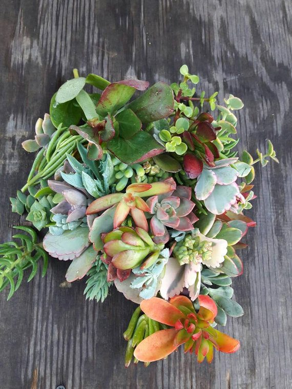 Live Succulent Cuttings (Click Image to View the Listing)